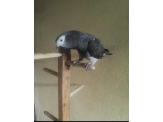 Perroquet gris timneh